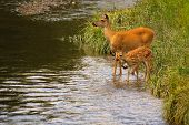 White-tail Deer Doe And Fawn
