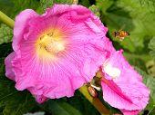 Neve Monosson Bee And Hollyhock 2011