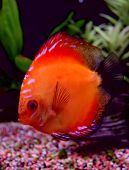 pic of diskus  - orange discus fish in aquarium: beautiful fish