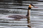 picture of great crested grebe  - A Great Crested Grebe swimming in the water - JPG