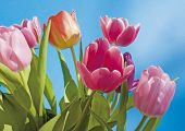 tulip with blue background