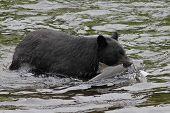 Black Bear Catching Coho Salmon - Alaska