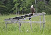 A Bald Eagle Sitting On An Old Duck Blind