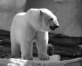 picture of polar bears  - fierce and powerful polar bear - JPG