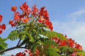 Flamboyant tree blooming
