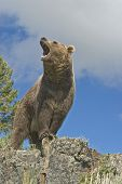 Rugir de Grizzly Bear