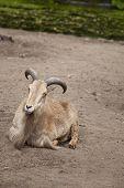 image of suffolk sheep  - Barbary sheep lying in sand - JPG