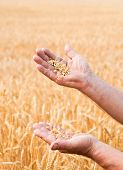 farmer standing in a wheat field