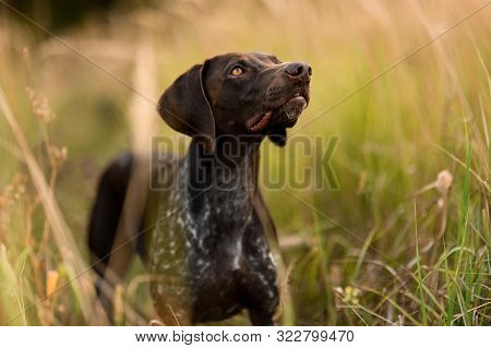 poster of Purebred Dark Brown Dog Standing Looking Up In The Field Among Spikelets