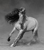 Light gray Purebred Andalusian horse plays on sand in dust. Black-and-white photo. poster