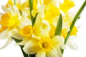 image of narcissi  - A bouquet of narcissi isolated over white - JPG