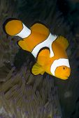 Colorful False Clown Anemonefish in Lembeh Straits