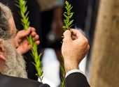 Religious Jew with a gray beard chooses myrtle for the holiday Sukkot. Jewish autumn holiday Sukkot  poster