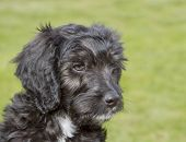 stock photo of cockapoo  - Black and white 10 week old Cockapoo puppy - JPG