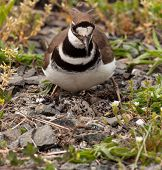Killdeer Bird Sitting On Nest With Young