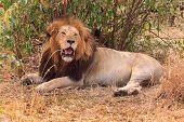 Lazy Lion Laying Around On The Plains Of The Masai Mara, Kenya poster