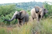 2 Curious Elephants At The Pilansberg Nature Reserve poster
