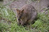 stock photo of quokka  - the quokka is a small marsupial that eats grass and berries - JPG