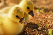 cute tiny goslings