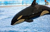Orca Whale Orcinus Orca Show Loro Parque Tenerife  Canarian Islands