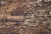Topview, Traces And Tracks Of A Bark Beetle On A Dead Part Of Wooden Bark, Scolytinae poster