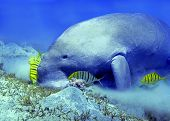 Dugong And Junior Trevally