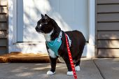 Alert black and white tuxedo cat in a harness and leash outdoors poster