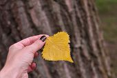 Autumnal Leaf In The Hands Of A Girl With Brown Manicure. Early Autumn, Fall October. Yellow Autumn  poster