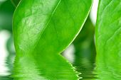 Green leaves with water reflection