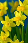 Bunch of yellow daffodils on dark blue background