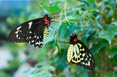 Ornithoptera priamus butterflies (male and female)