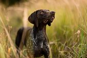 Purebred Dark Brown Dog Standing Looking Up In The Field Among Spikelets poster