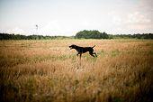 Purebred Dark Brown Dog Running Through The Field poster