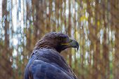 Closeup Of Head White-tailed Eagle Bird. - Image poster
