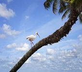 White Ibis (Eudoctricimus albus) Perched On A Tree