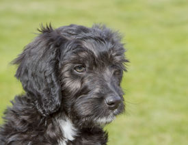 pic of cockapoo  - Black and white 10 week old Cockapoo puppy - JPG