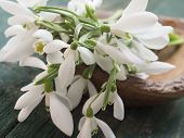 picture of snowbell  - beautiful snowdrops - JPG
