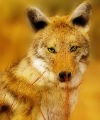 Coyote pretty.