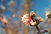 Heavy Frost On An Early Bloom
