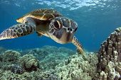 stock photo of green turtle  - A Hawaiian gree sea turtle investigates his reflection in my dome port - JPG
