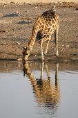 Giraffe drinking at a waterhole