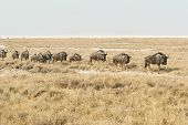 Migrating blue wildebeests