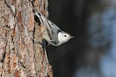 White-breasted Nuthatch on a Red Pine