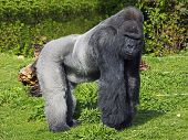 A large male silver back western lowland gorilla standing in a powerful position surveying his  territory