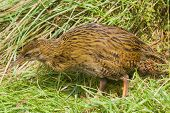 foto of australie  - The Weka  - JPG