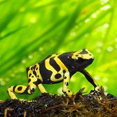 The poison dart frog Dendrobates leucomelas in a rainforest. Close up with shallow DOF.