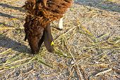 Sheep Eat Grass6