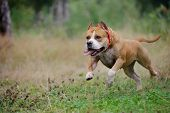 american staffordshire terrier run in the forest