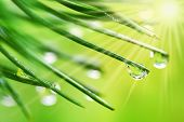 Water Drops On Pine Needles