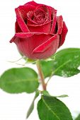Isolated Red Fresh Rose